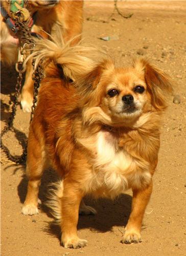 a pekingese dog