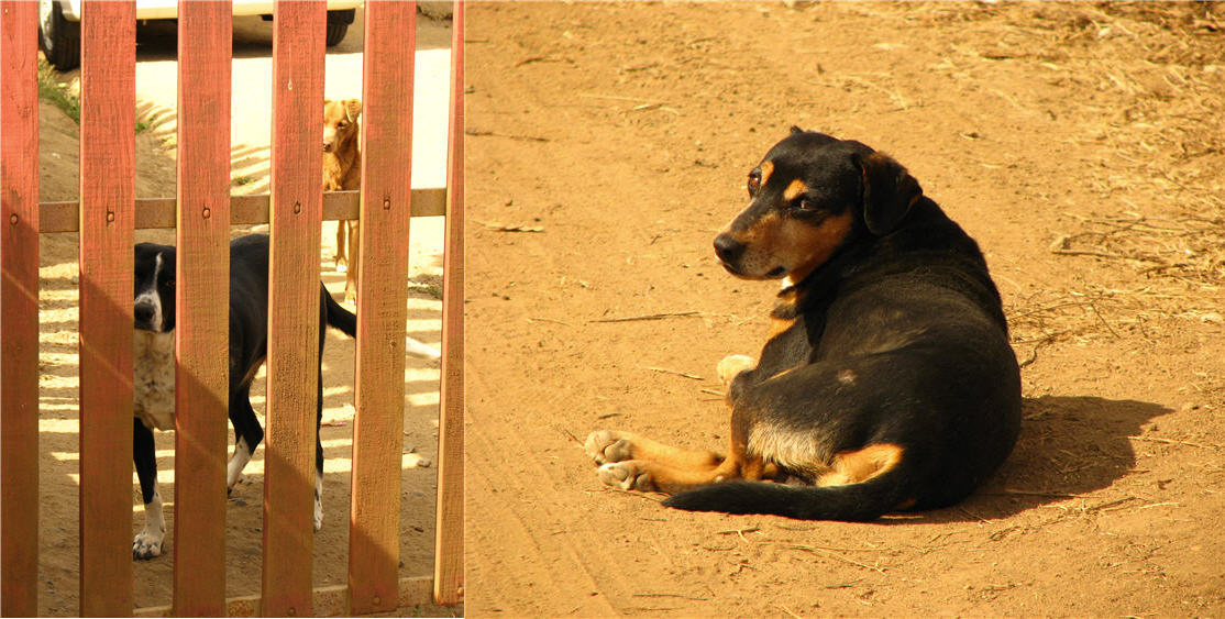 domestic dogs versus street dogs